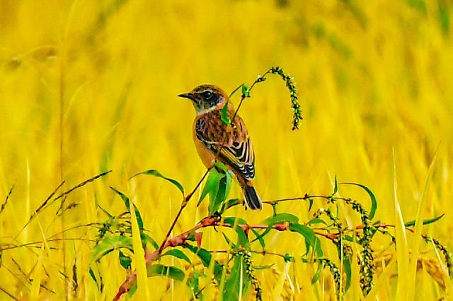 ノビタキ 大分県では旅鳥