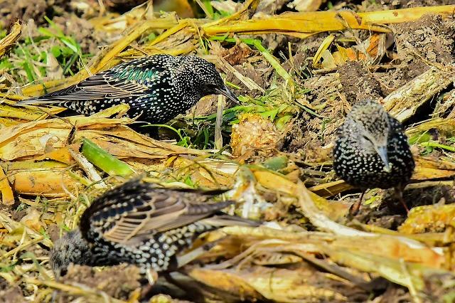 田んぼで餌を啄むホシムクドリ