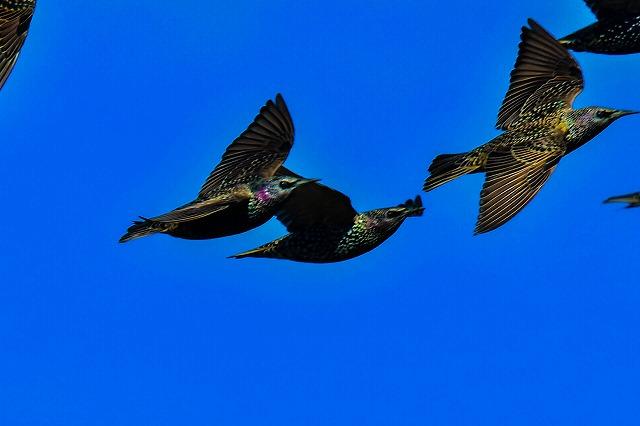 極近で ホシムクドリ 飛翔