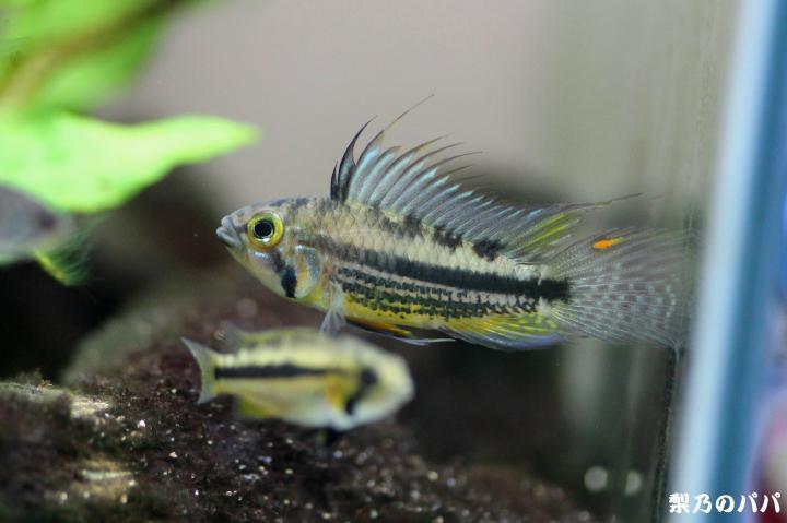 カカトゥオイデス.コロンビアWILD♂2