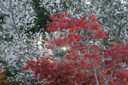 20181123四季桜2