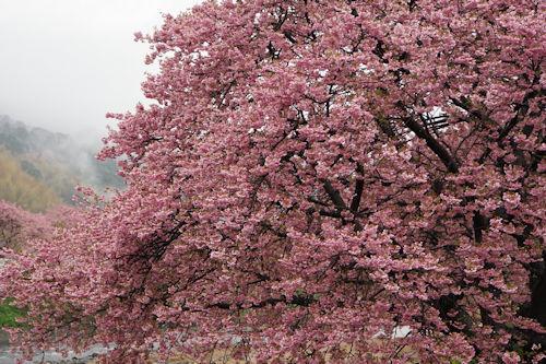 20200216河津桜10
