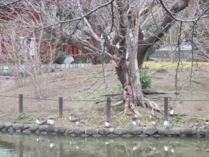2019/2/11鶴岡八幡宮 ぼたん園