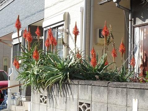 通りすがりに見かけたアロエの花a