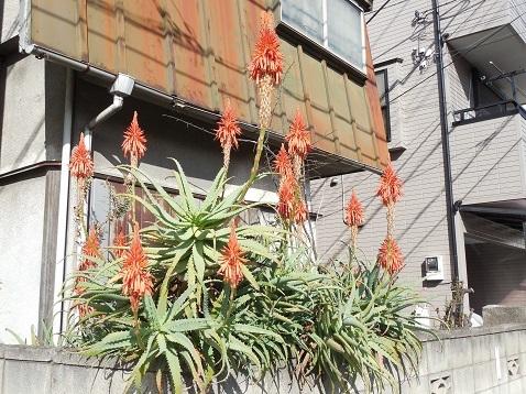 通りすがりに見かけたアロエの花b