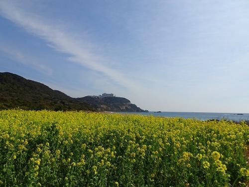 伊良湖菜の花