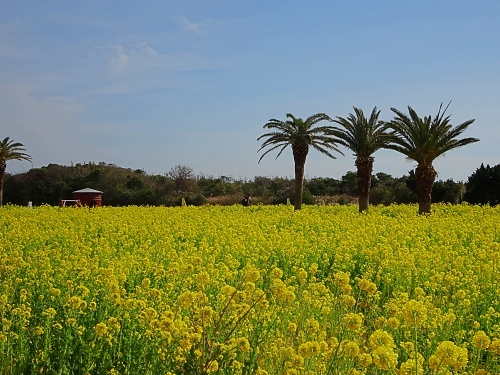 伊良湖菜の花ガーデン