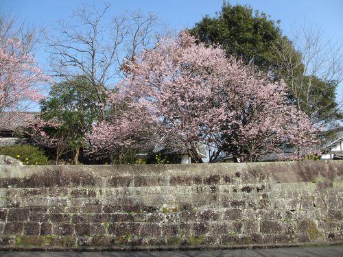 IMG_9193早咲きの桜、満開