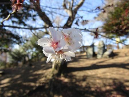 フユザクラ190119藤岡市桜山 (2)s