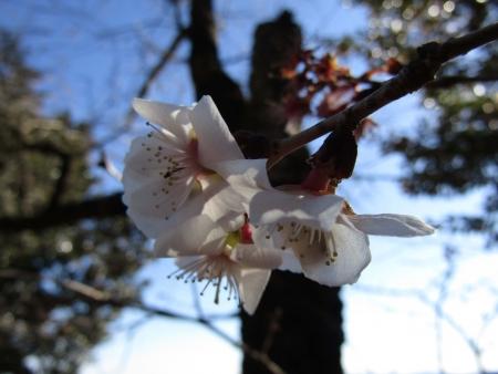 フユザクラ190119藤岡市桜山 (7)s