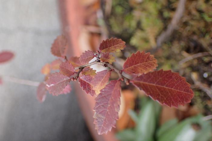 アキニレの紅葉