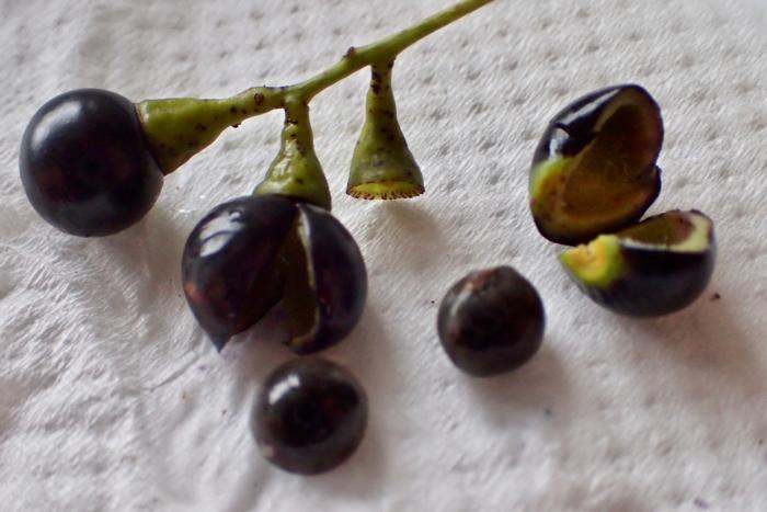 クスノキの果実、種子