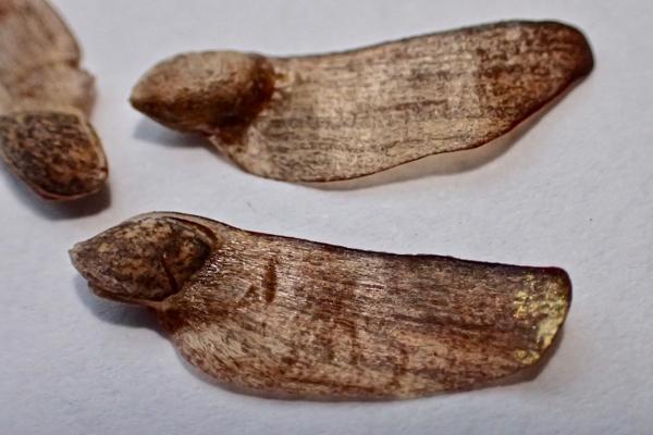松の種子2
