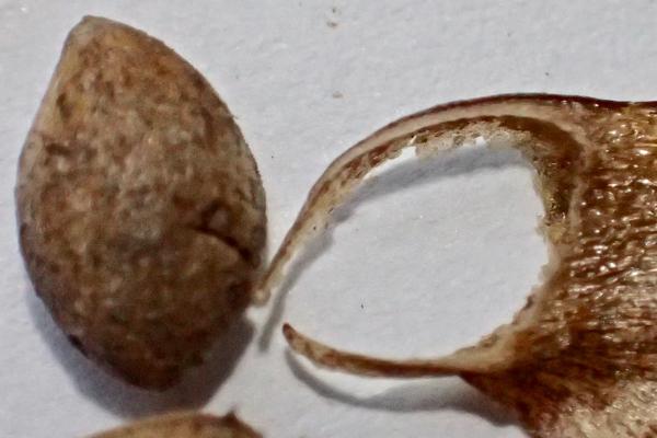 松の種子5