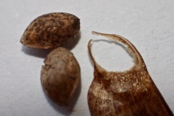 松の種子6