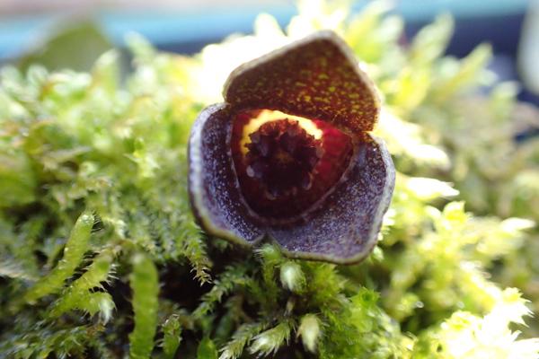 カンアオイの花2