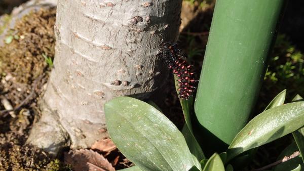 ツマグロヒョウモンの幼虫