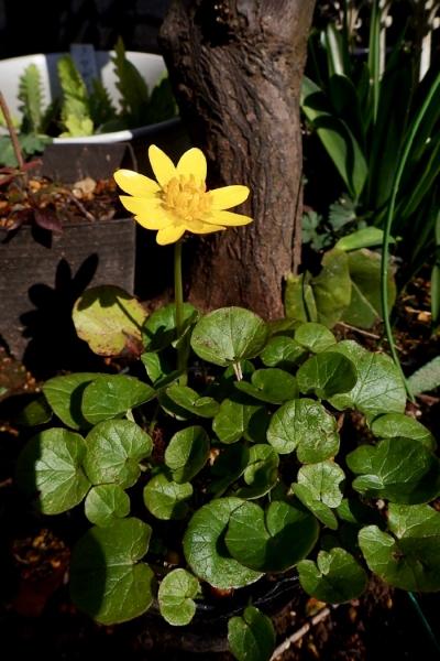 ヒメリュウキンカ 花