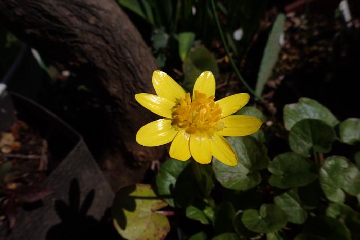 ヒメリュウキンカ開花