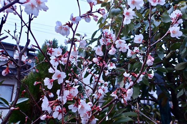 サクラ満開(早咲き)