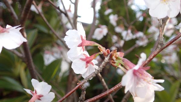 サクラ四方咲き