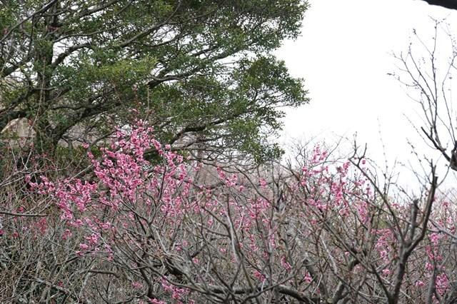 20190224 保久良神社(梅林) (53)