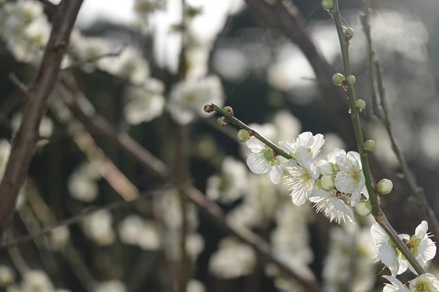 20190224 保久良神社(梅林) (82)