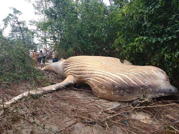 【謎】アマゾンの陸地でなぜか「ザトウクジラ」の亡骸が見つかる…今の時期は南極に移動中のはずが、なぜこんな場所に?