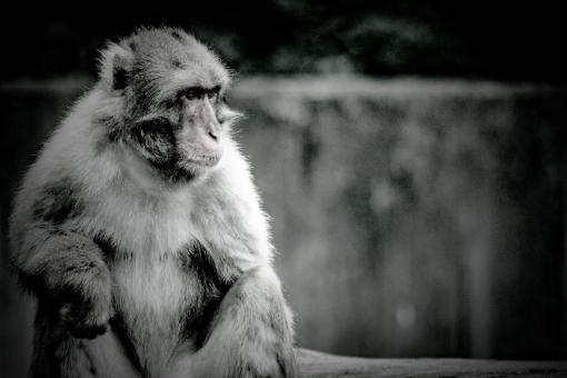 monkey86783.jpg