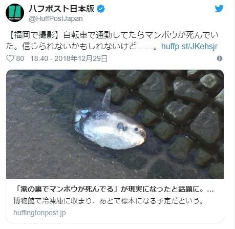 【珍事】福岡県の川でなぜか「マンボウ」が上流に向かって泳いでいるのが発見される!