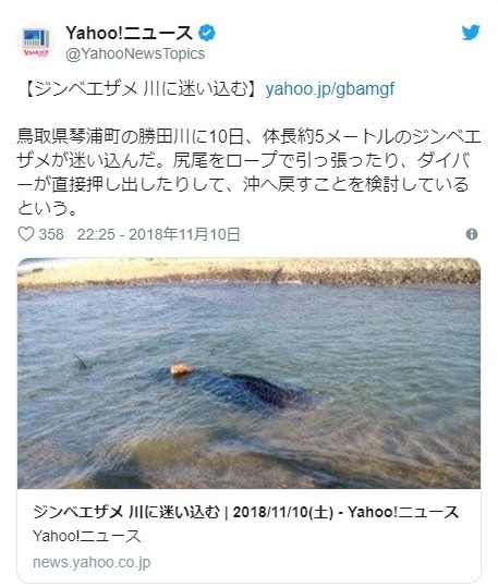 【日本海】鳥取県の川に「ジンベエザメ」がいるのを発見!日本海側で見つかるのは珍しい