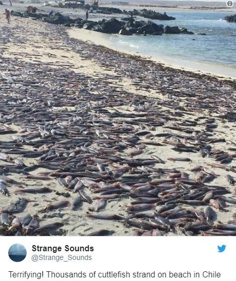 【大量発生】南米チリの砂浜に「イカ」数千匹が打ち上げられているのが見つかる!
