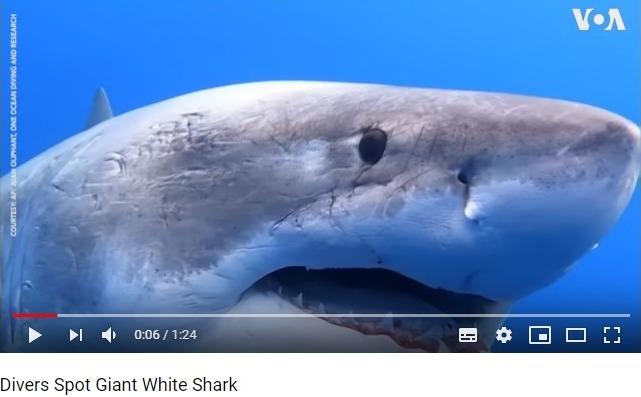 【巨大生物】ハワイ沖に伝説級の巨大な「ホホジロザメ」が出現!