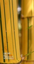 金糸竹 iPhone用壁紙