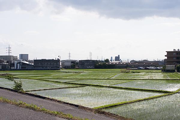 初夏の水田