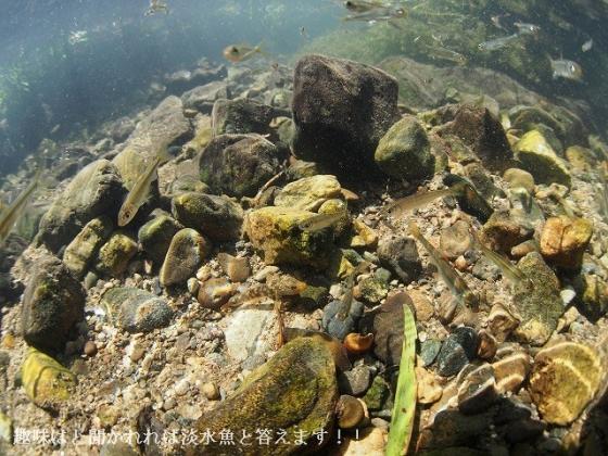 181008-01 鞍居川下流w1:カワヨシノボリ1-02[E-M5 8fish]