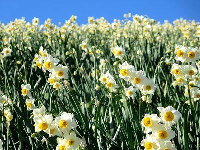 水仙の里で咲き誇る水仙たち