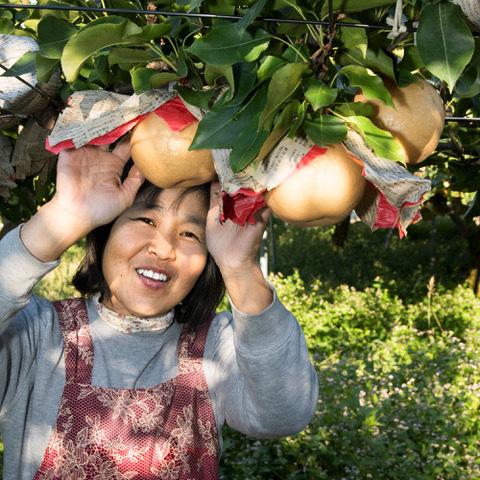 新興梨収穫
