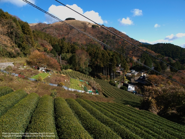 大野山の茶畑