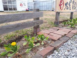 【写真】受付ハウス前の花壇に咲いたキンセンカの花