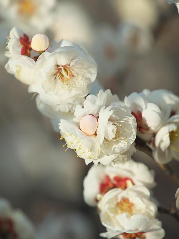 梅の花が咲く頃