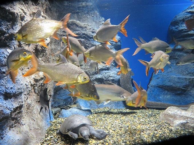 ブタバナガメと魚たち