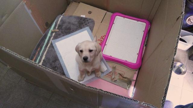 新しい番犬。小さいけどお座りが出来る