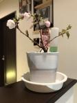桜盆栽31年