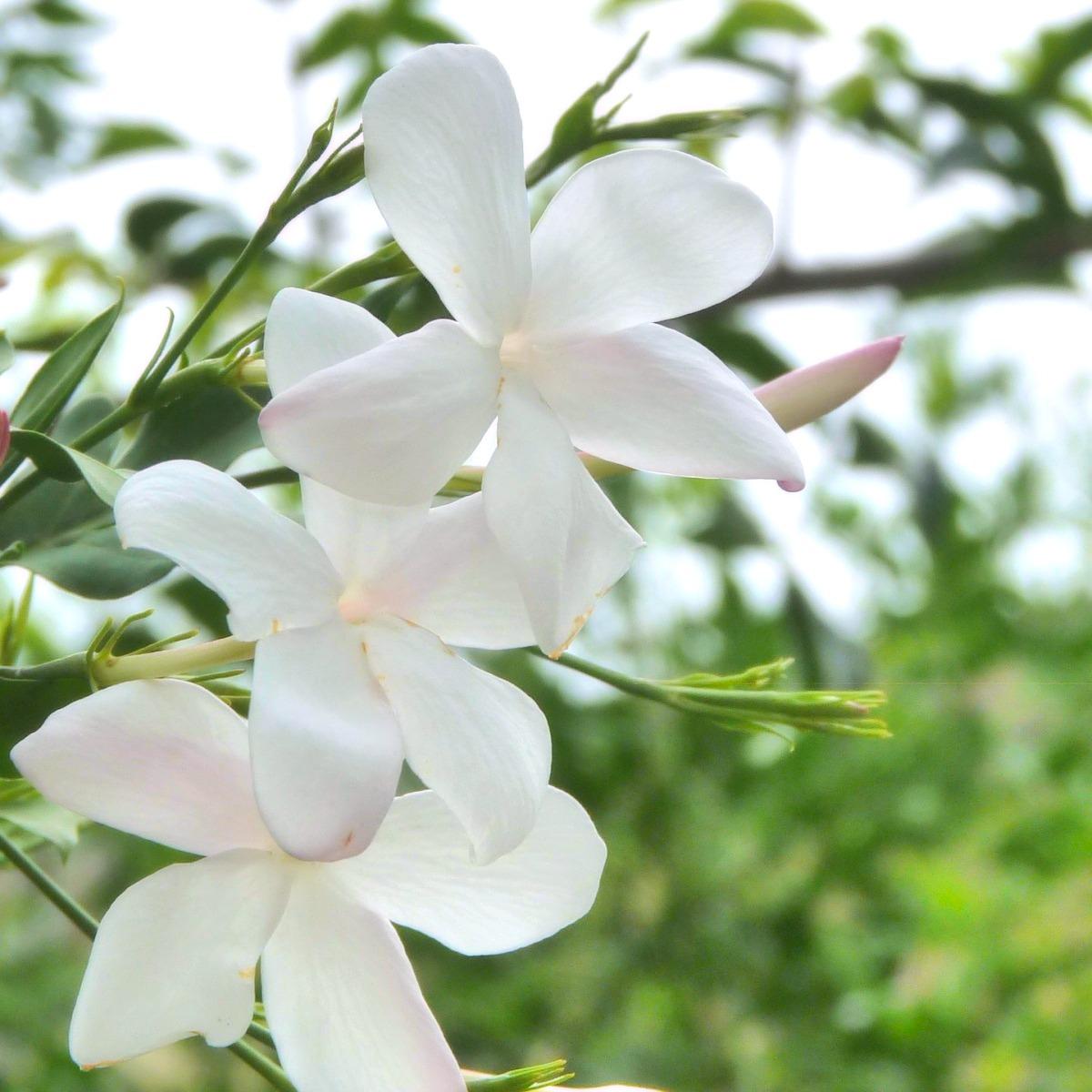 ジャスミン(アブソリュート)精油の効果効能とおすすめの使い方、相性の良い香り