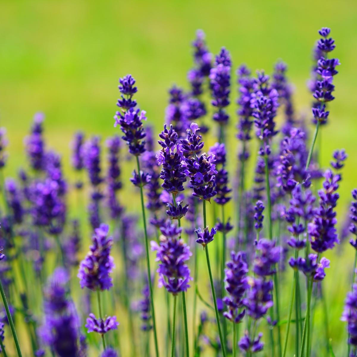 ラベンダー精油の効果効能とおすすめの使い方、相性の良い香り