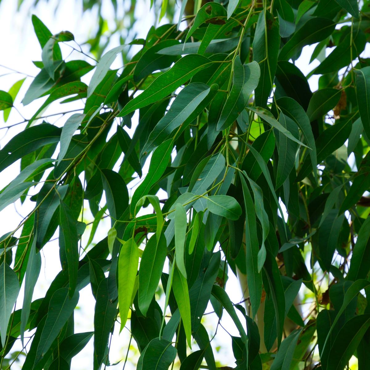 ユーカリ精油の効果効能とおすすめの使い方、相性の良い香り