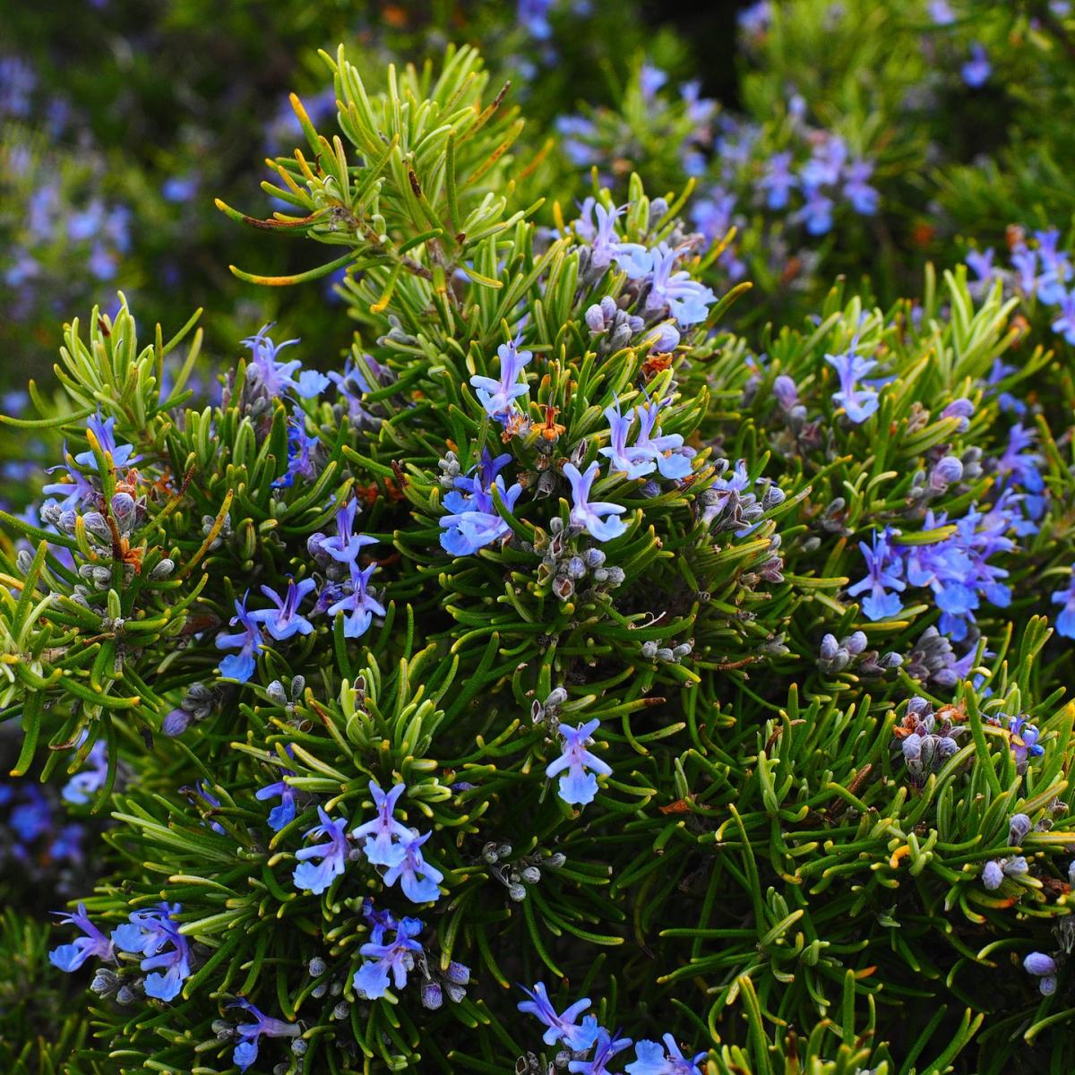 ローズマリー精油の効果効能とおすすめの使い方、相性の良い香り
