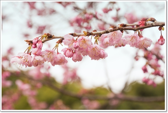 640DSC_6600椿寒桜n