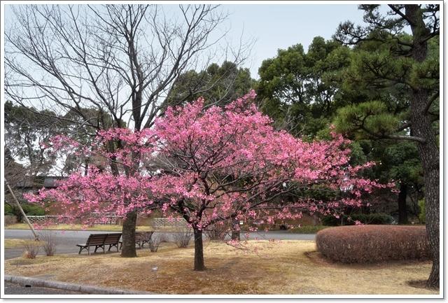 640DSC_6644 琉球寒緋桜